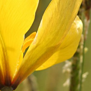 Photo de Tulipa Sylvestris, petite tulipe sauvage jaune